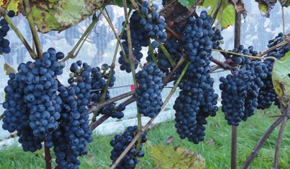 Vineyards - Grapes